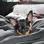 Miniature pinscher or Minpin